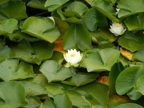 Water Lilies with White Flowers on Lake Ballinger