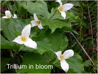 Trillium in bloom